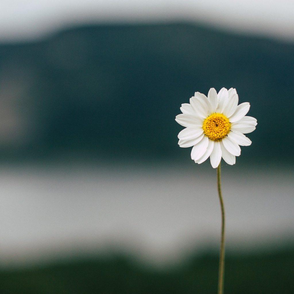 daisy-5383056_1920